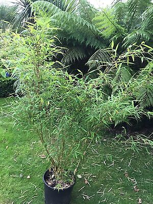 Large Fargesia murielae bamboo plant 15L 4ft+ COLLECT ONLY BL2