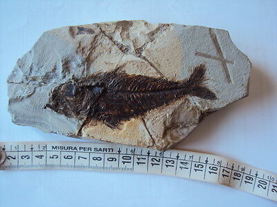 °°°°°°°°°°°°°°°°° FISH LEPTACANTHUS FOSSIL Bolca ITALY °°°°°°°°°°°°°°°°°°°
