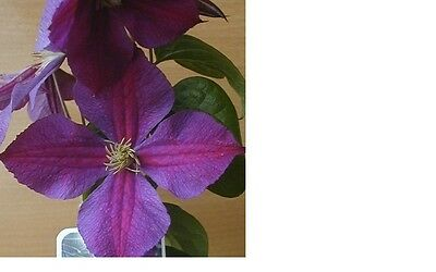 Just Arrived Star Of India Clematis Plugs