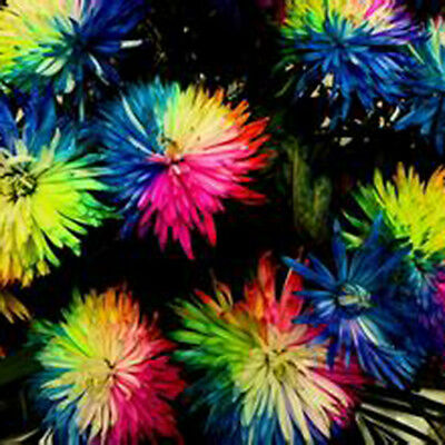 100p Rainbow Chrysanthemum Flower Seeds Rare and unique color variety Planted