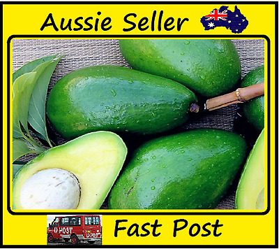 New Rare Mini Green Avocado Seeds Very Delicious Fruit Easy Grow 10 Seed Lots