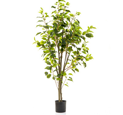 Z Ficus Tree Potted 1200mm