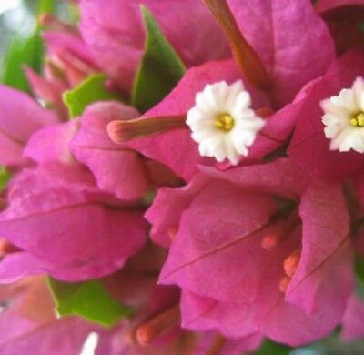 CLIFTON BELLE Bougainvillea two-tone hot pink flowers plant in 140mm pot