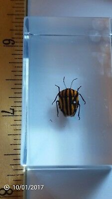 Stripe Bug Graphosoma rubrolineata in Amber Clear Block Learning Insect Specimen