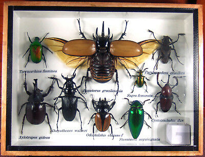 REAL Rare Mix Insect Bug Butterfly Taxidermy Display Frame Box Set Gift gpasy 01