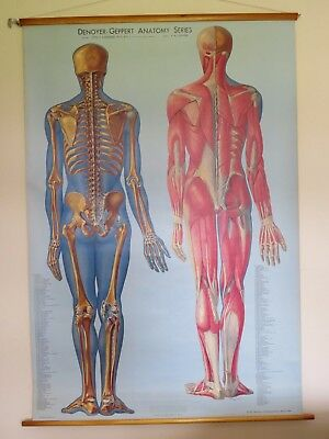 Rare Vintage Roll Down Medical School Anatomy Chart Skeleton & Muscle Posterior