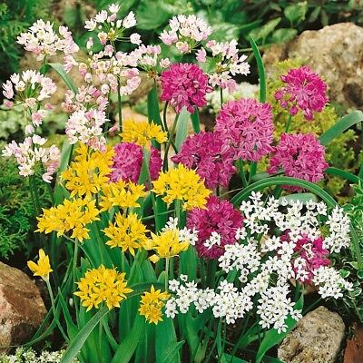 15 x Mixed allium bulbs,purple/white/yellow,spring flowering bulbs