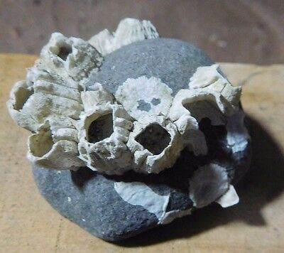Fossil Barnacles From Alaska-For your Collection or Classroom - R254