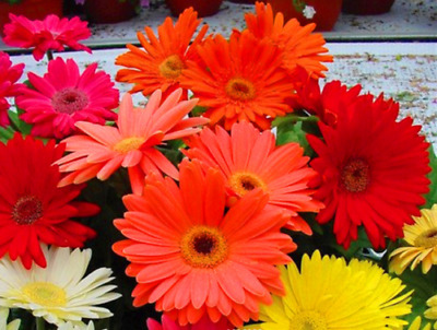 100 Pcs/Bag Gerbera Daisy Hybrids Mix Flower Seeds Bonsai Plants Seeds For Home