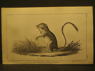 R. H. Kern,  Pocket Mouse , Litho 1854