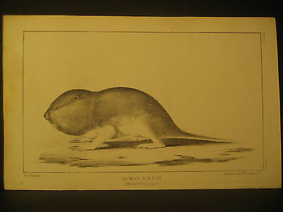 "R. H. Kern, "" Reddish Pouched Rat "", Litho 1854"