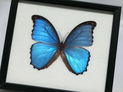 MOUNTED REAL BUTTERFLY FRAMED INSECTS TAXIDERMY Blue Morpho Collection