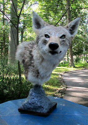 Coyote shoulder table pedestal mount with glowing eyes taxidermy