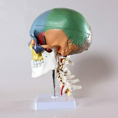Didactic Human Skull Model with 7 Cervical Vertebrae Nerve and Artery with Stand