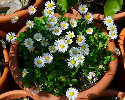 Bellis Perennis-Daisy English-Single White (800 Seeds)
