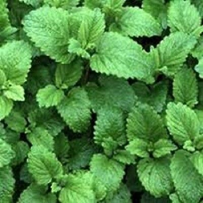 Lemon Balm Melissa offinicalis Melissa Tea 100 G Ph Eur