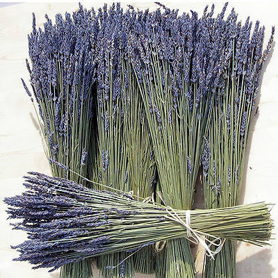 Natural Dried French Provence Fragrant Lavender Bunch Tied by Hand / 300 stems