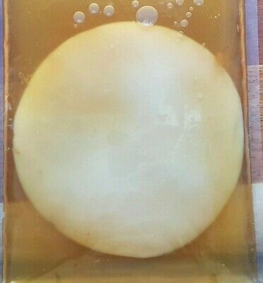 OVERSTOCKED Large Kombucha Scoby, Strong Starter Tea, Makes 3ltrs, Instructions.