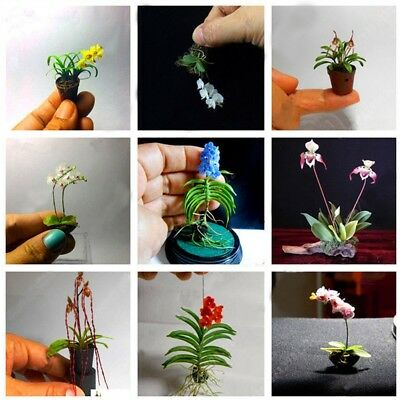100PCS Rare Mini Orchid Seeds Seed Flower Phalaenopsis Indoor Miniature Home