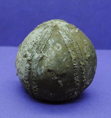 Large Sea Urchin fossil