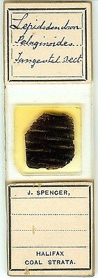 Lepidodendron selaginoides Tang. Sect. (Coal Fossil) Microscope Slide by Spencer