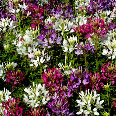 650 Seeds of Cleome Flower Spider VARIES / flower Annual