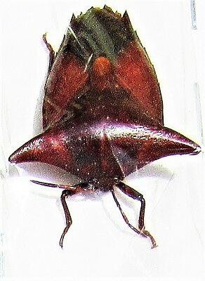 Lot of 2 Unusual True Bug Embolosterna taurus Hemiptera Insect FAST FROM USA