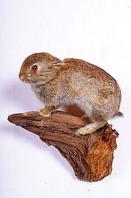 Junger Hase  Rabbit Taxidermy