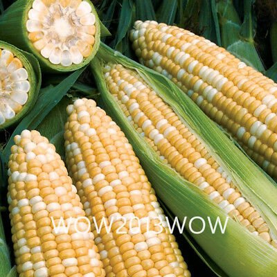 20pcs Obsession Corn Seeds Gourmet Flavor Corn Vegetable Seeds Organic Vegetable