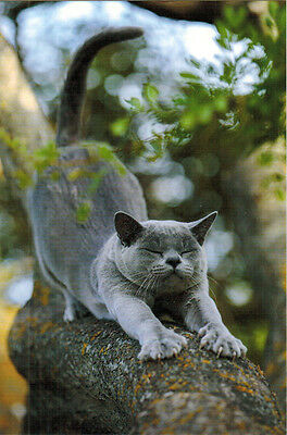 GORGEOUS GREY CAT PERFORMS STRETCHING EXERCISE Modern Russian postcard