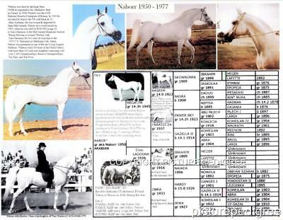 Polish Arabian Horse NABORR Picture Pedigree chart