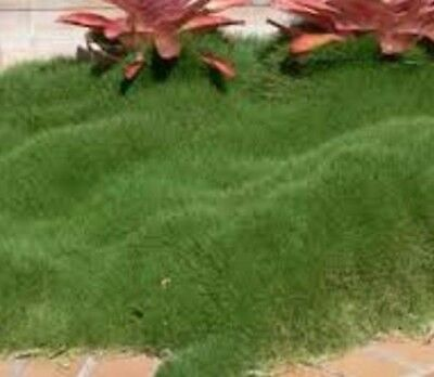 6x No Mow Korean Velvet Grass Zoysia tenuifolia groundcover plants in 100mm pots