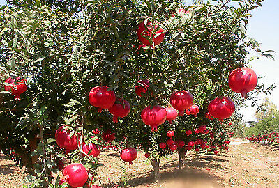 "Pomegranate Tree - ""Punica Granatum Pink Satin"" - 5 Fresh Cuttings (Portugal)"