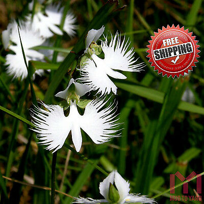 100pc Rare White Egret Orchid Seeds Japanese Radiata Seed Habenaria radiata