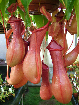 5 Semi Nepenthes Ventrata Pianta Carnivora
