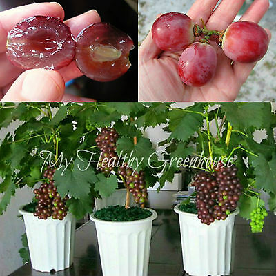 SEEDS - Bonsai Red Globe Grapes Easy Rapid Growth Indoor Outdoor in Containers!