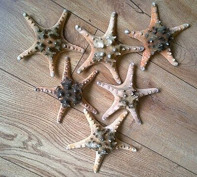 Large Single Real Natural Knobbly Starfish Dark Markings 6 inch 15cm