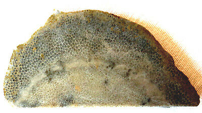 Favosite Slab - Honeycomb Coral Fossil - Charlevoix Stone - 155 Grams - Michigan