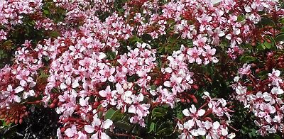 Bauhinia Corymbosa Rosea seeds (Orchid/Butterfly Vine) 10 Fresh Seeds
