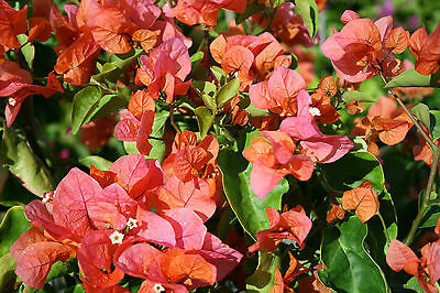 TANGO Bougainvillea glabra flowering climbing plant in a 140mm pot