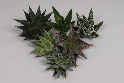 ALOE ASSORTED 9cm | Qty 20 | Assorted
