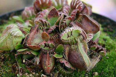 CEPHALOTUS FOLLICULARIS (Albany Pitcher Plant) 15 seeds harvested August 2017