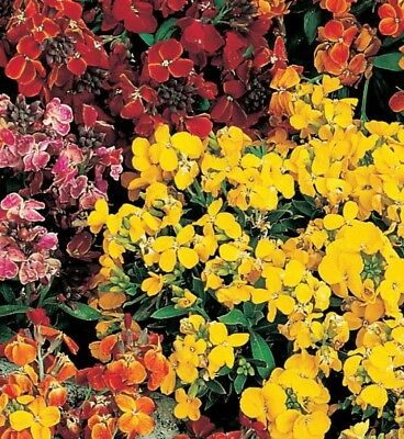 50 X Wallflower plants (persian carpet)mixed colours. Field grown.