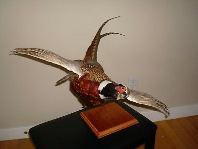 Mounted Pheasant In Flight Taxidermy