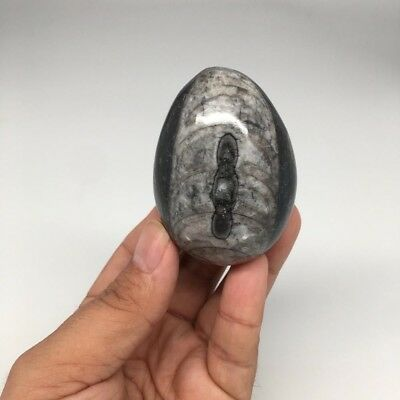 """166g, 2.4""""x1.8"""" Hand Polished Fossil Orthoceras Stone Egg from Morocco,FE39"""