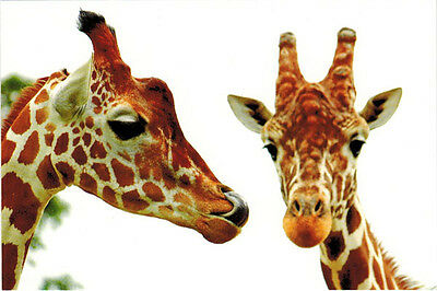 GORGEOUS COUPLE OF GIRAFFES Modern Russian postcard