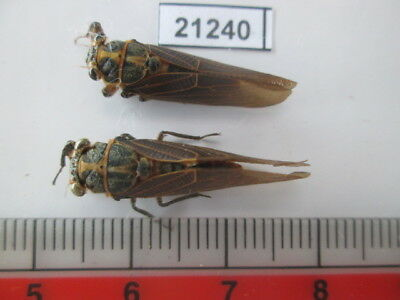 21240.Unmounted insects, Cicada. From Central  Vietnam.
