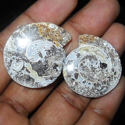 Display Specimen Vintage Fossil Snail Gemstone Pair 61 Cts Best For Jewelery Use