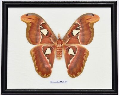 Real Attacus Atlas Moth Giant Insect. Taxidermy In Framed Display
