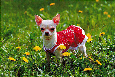 CHIHUAHUA DOG is very fashionable in red summer dress Modern Russian postcard